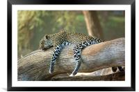 Lazing Leopard , Framed Mounted Print
