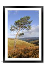 Scots pine , Framed Mounted Print