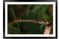 Resting Dragonfly, Framed Mounted Print