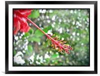 SPECIAL HIBISCUS , Framed Mounted Print