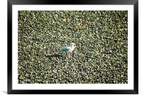 Seagull on a norfolk beach, Framed Mounted Print