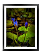 Water lilies in India, Framed Mounted Print