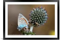 butterfly on a Echinops adenocaulon, Framed Mounted Print