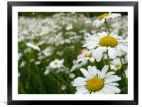 daisies, Framed Mounted Print