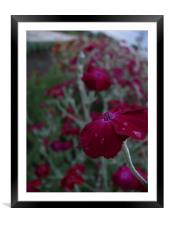 Purple flower with dew, Framed Mounted Print