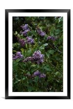 lilac blooming, Framed Mounted Print