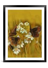 Scotch Argus Butterflies, Framed Mounted Print