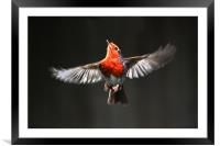 ROBIN IN FLIGHT, Framed Mounted Print