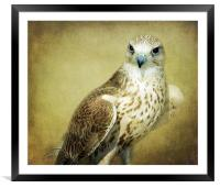 The Saker Falcon Stare, Framed Mounted Print
