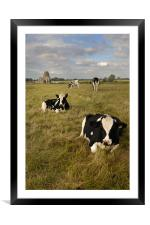 Chewing the cud, Framed Mounted Print