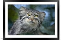Tula the Pallas Cat, Framed Mounted Print