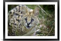 Malawi the Serval Cat, Framed Mounted Print