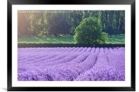 Rows of Lavender, Framed Mounted Print