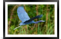 Tricolored Heron Flight, Framed Mounted Print