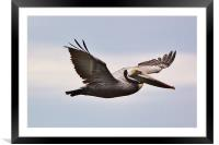 Tampa Bay Pelican, Framed Mounted Print