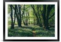 Path through Bluebells growing wild in natural woo, Framed Mounted Print