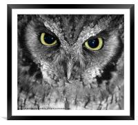 Screech owl, Framed Mounted Print