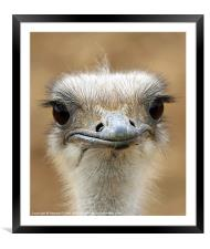 Ostrich, Framed Mounted Print