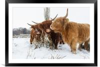 Highland Cattle, Framed Mounted Print