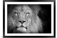 A lion staring, Framed Mounted Print