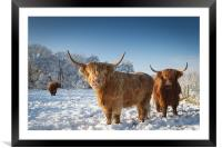 Highland cattle in the snow, Framed Mounted Print