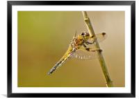 Four Spotted Chaser, Framed Mounted Print