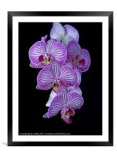 Purple Veined Orchid, Framed Mounted Print