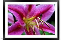 Pink Lily, Framed Mounted Print