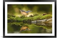 Nuthatch reflecting, Framed Mounted Print