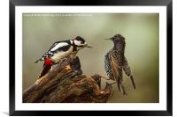 Stand off between woodpecker and starling, Framed Mounted Print