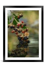 Harvest mouse on brambles with reflection, Framed Mounted Print