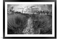 Reed bed foot path, Framed Mounted Print
