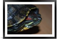 Red eared Terrapin, Framed Mounted Print