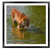 Siberian Tiger, Framed Mounted Print