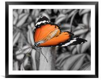 orange butterfly, Framed Mounted Print
