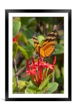 butterfly on red rubiaceae, Framed Mounted Print