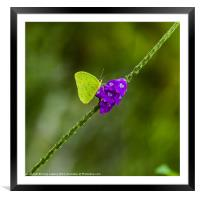 tropical green butterfly, Framed Mounted Print