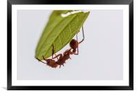 Leafcutter ant, Framed Mounted Print