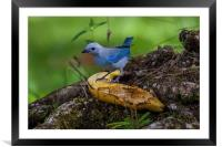 blue-gray tanager, Framed Mounted Print