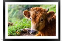 young calf lying down, Framed Mounted Print