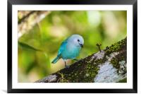 blue gray tanager on a branch, Framed Mounted Print