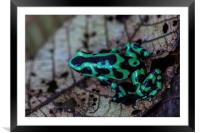 Black and green poison dart frog, Framed Mounted Print
