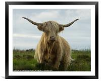 Highland cow, Exmoor, Framed Mounted Print