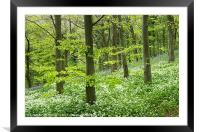 Wild garlic and blue bells, Framed Mounted Print