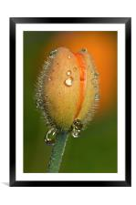 Poppy drops, Framed Mounted Print
