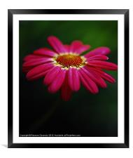 Pink Daisy, Framed Mounted Print