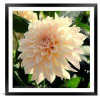 Beautiful Cream Dahlia Flower, Framed Mounted Print