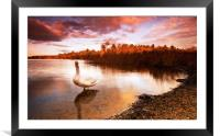 Swan On The Lake, Framed Mounted Print