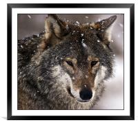 Wolf, Framed Mounted Print