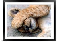 The Lion Sleeps - Sleeping Lion Cub, Antelope Park, Framed Mounted Print